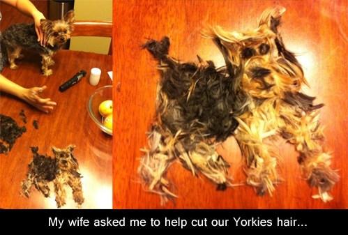 yorkie,haircut,help
