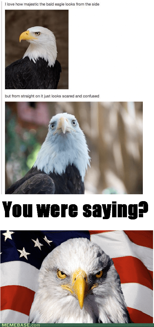 majestic,america,bald eagle
