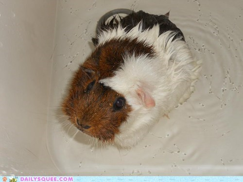 bath,guinea pig