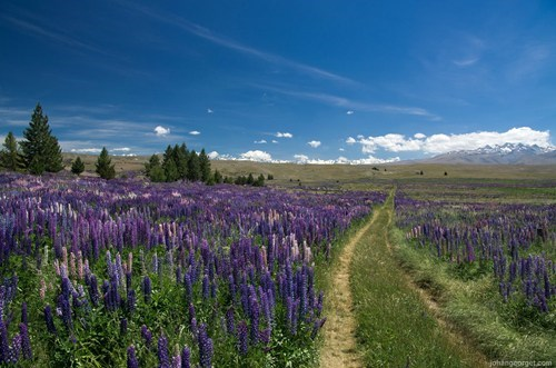 lavender,new zealand,landscape