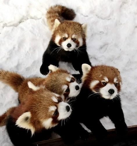 red pandas - 7171756288