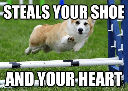 corgi ridiculously photogenic wink dogs - 7184067584