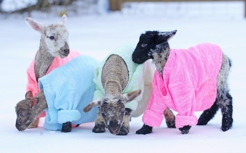 lambs,warm