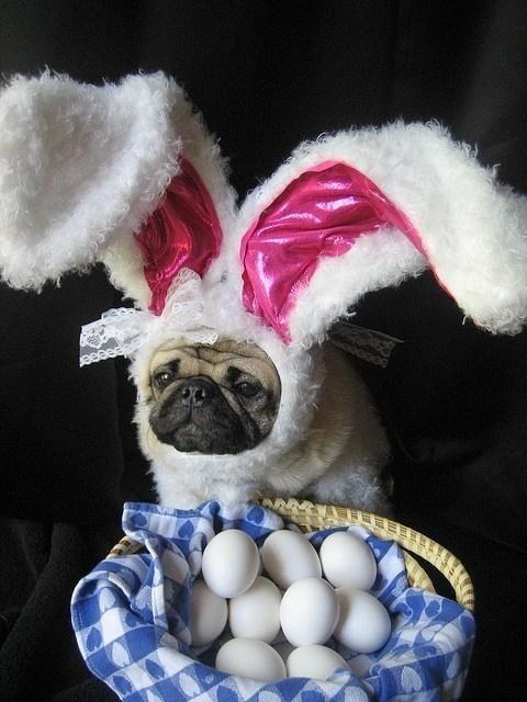 easter,pug,eggs,dogs