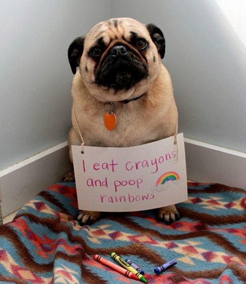 poop,crayons,dog shaming,rainbow,pugs