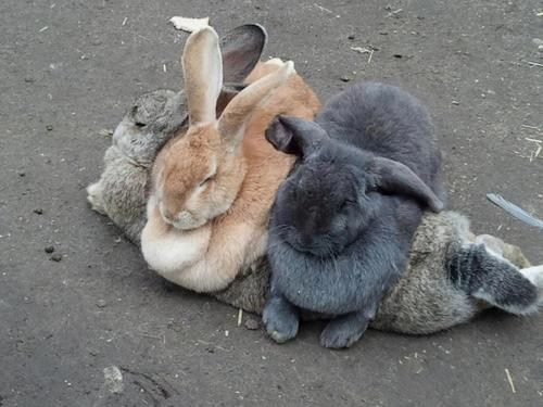 pile bunny - 7196299008