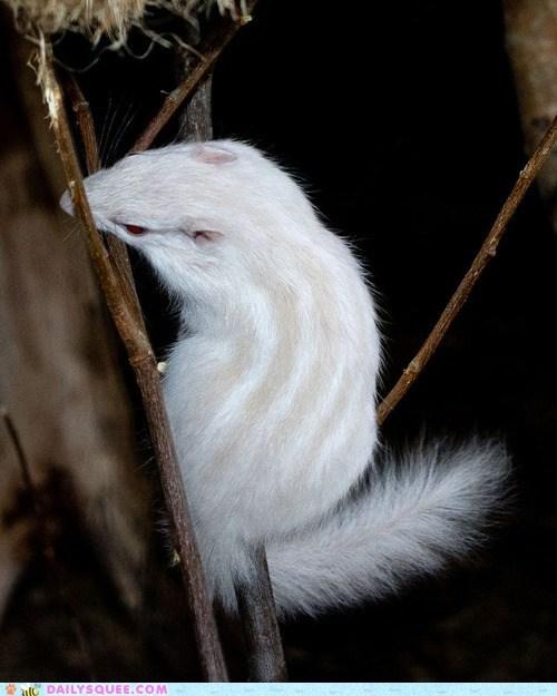 chimpmunk albino - 7198148096