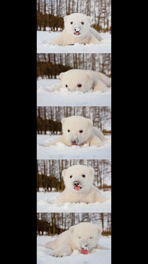 snow,polar bear