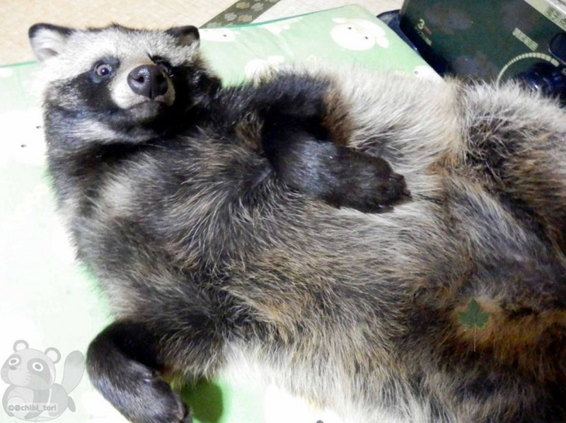 The Internet Is Obsessed With The Tanuki, a Huggable Raccoon-Dog