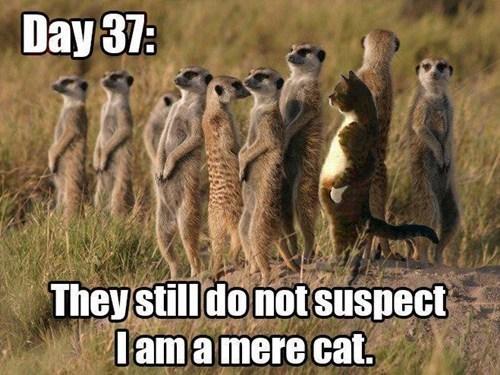 cat meerkat observant - 7217619200