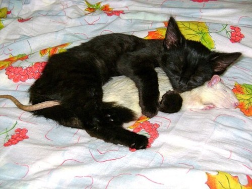 friendship,cat,rat,cuddle