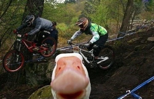 duck,biking,animals