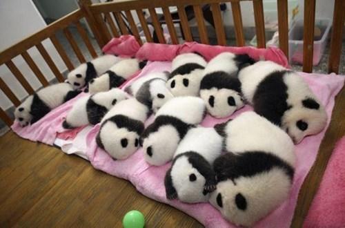 panda,nap time