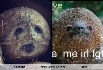 coconuts,totally looks like,sloths