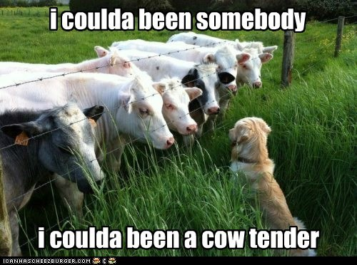cow,contender