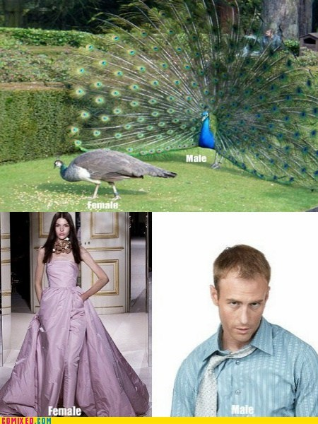 animals,gender roles,peacocks,males