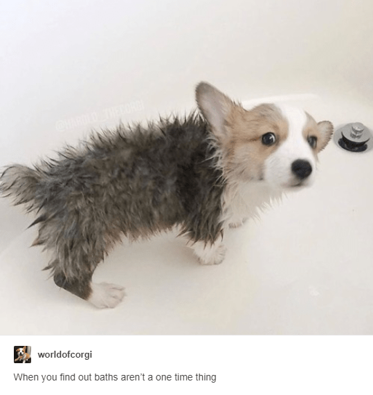 aww tumblr cute corgi posts - 7239685