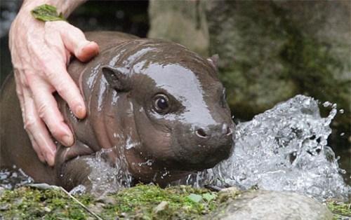 baby hippopotamus - 7240345856