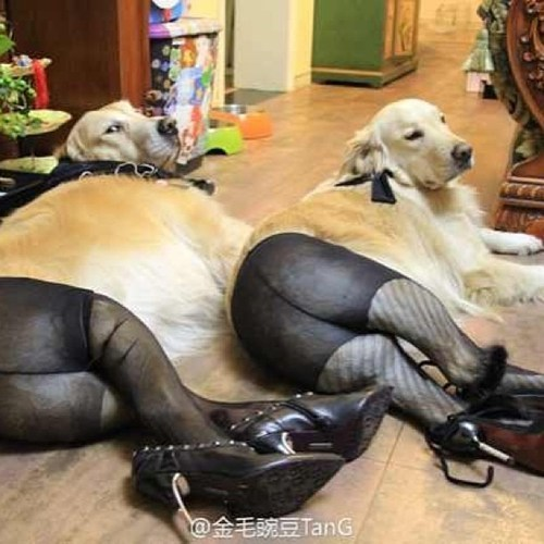 dogs pantyhose high heels poorly dressed g rated - 7240403968