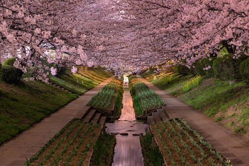 walkway,pretty colors,cherry blossoms