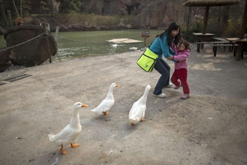 animals ducks geese - 7255168768