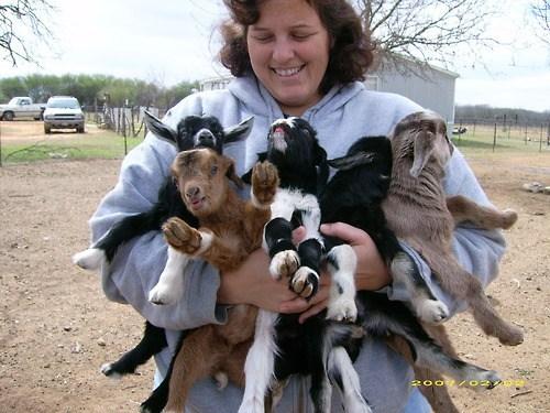 goats hug - 7256347904