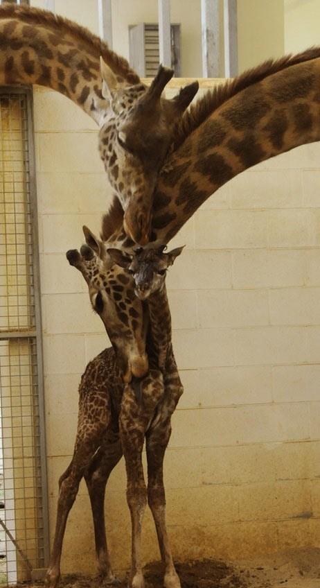 family,giraffes,hug