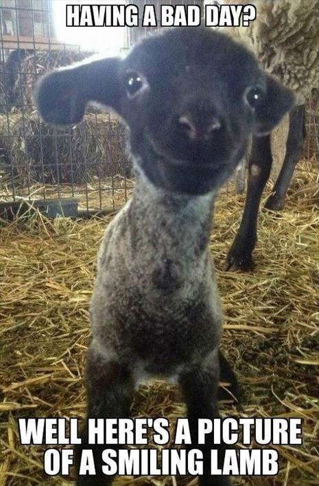 smiling,lamb