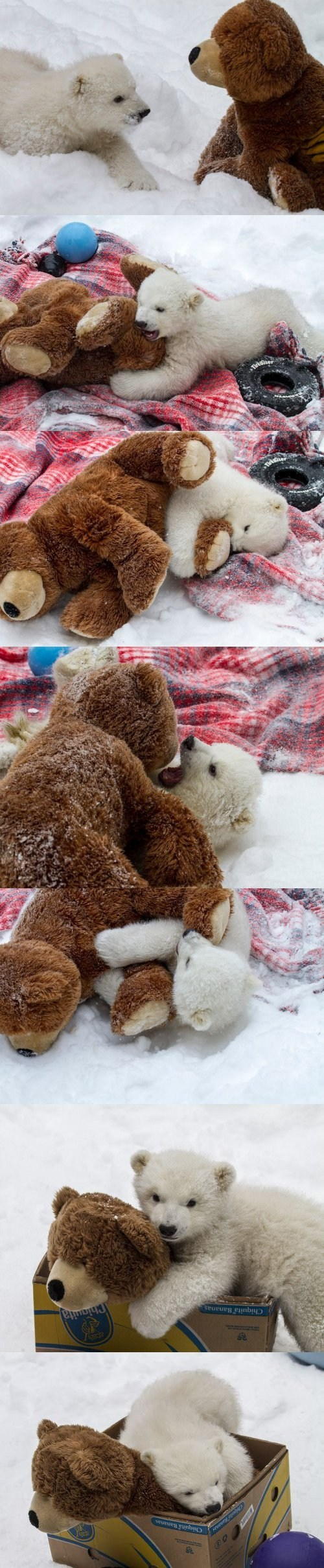 teddy bear,polar bear,attack