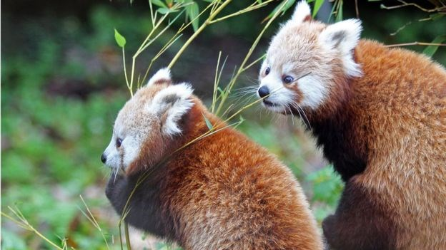 red panda red pandas zoo - 7270405