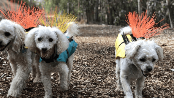 dogs coyote vest protection - 7286277