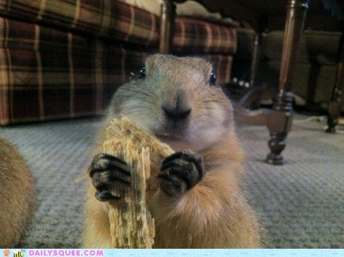 This is our female prairie dog, Lily. She loves her triscuits!