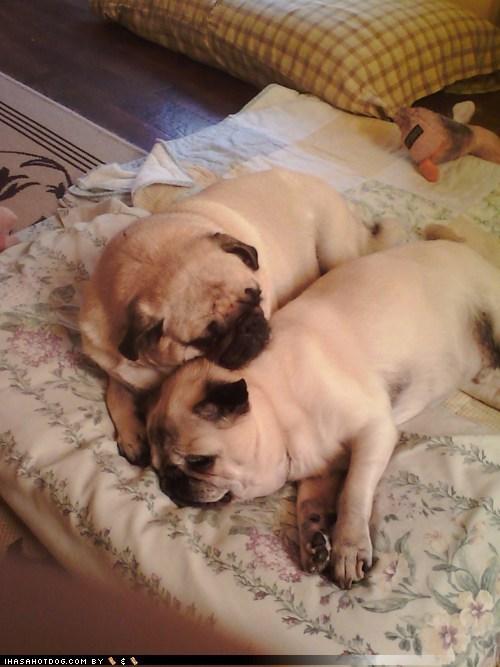 dogs,pugs,love