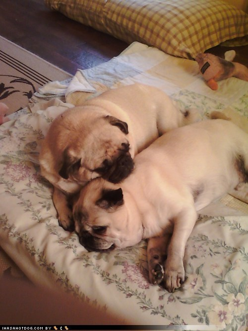 dogs pugs love - 7293564928