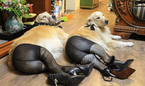 dogs,China,meme,pantyhose