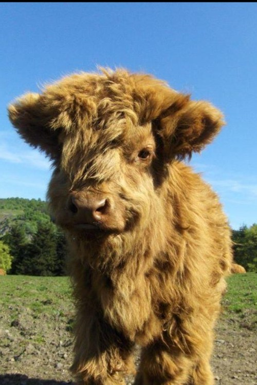 Fluffy Cow