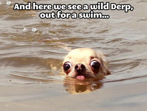 swimming,chihuahua,derp