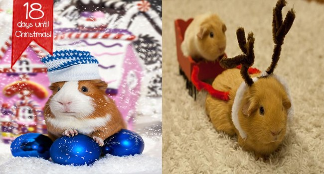 Christmas themed guinea pigs