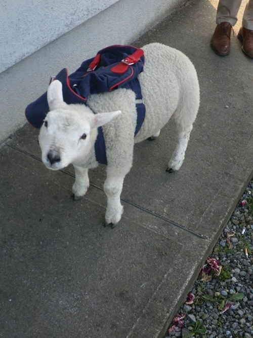 school,lamb,backpack