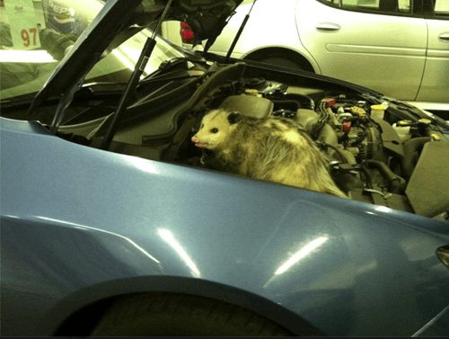 opossum repair cars - 7303664384