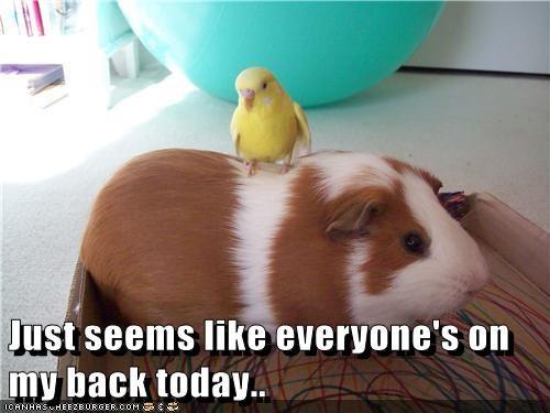 guinea pig back - 7305215232