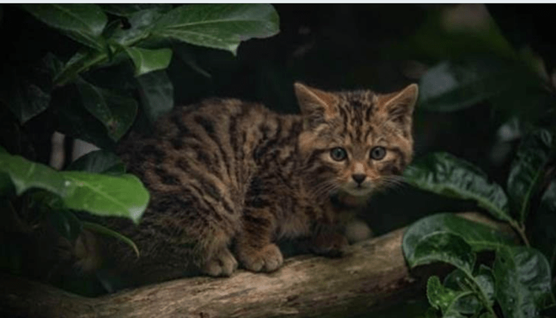 scottish zoo wildcat UK - 7313925