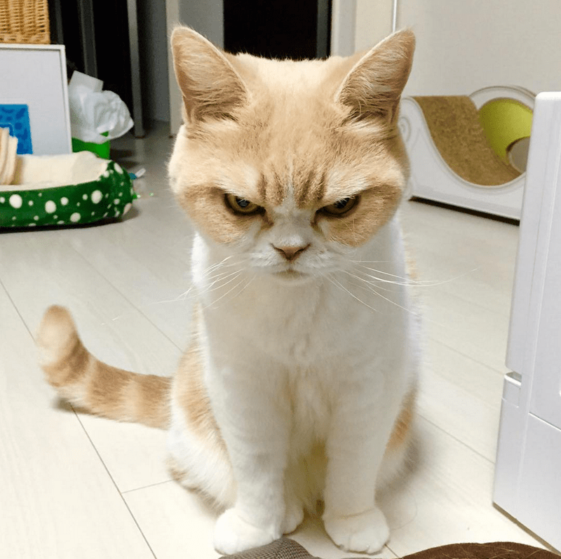 koyuki the frowning cat