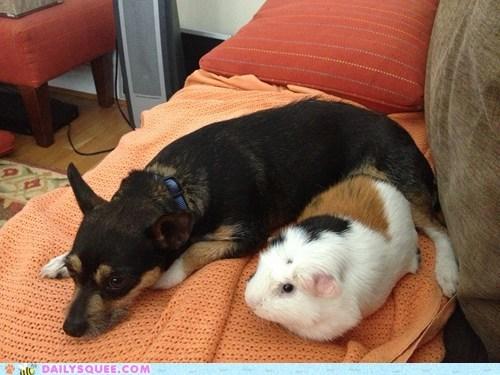 puppy guinea pig - 7315151872