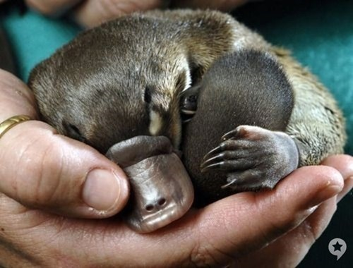 platypus sleeping - 7316876800