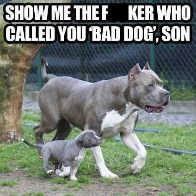 dogs pitbull bad dog son