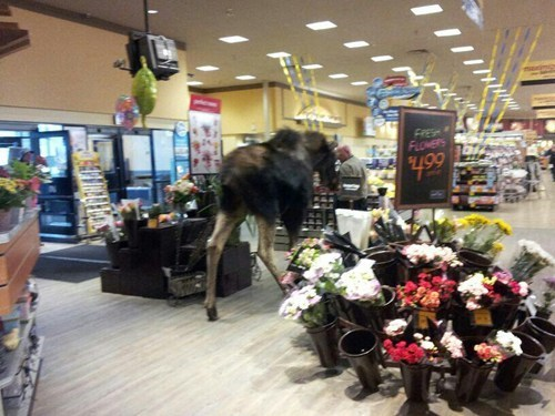 safeway,moose,grocery store