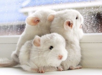aww cute animal photos cute cute photos chinchilla - 7341061