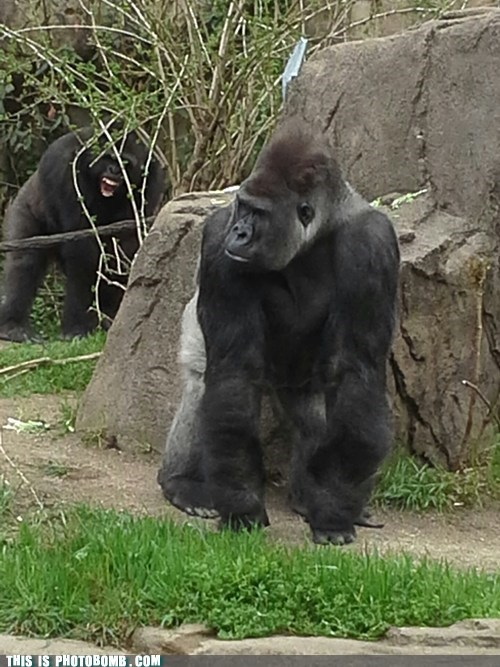 gorillas,animals