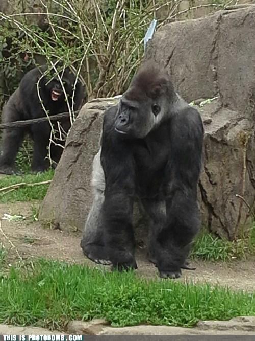 gorillas animals